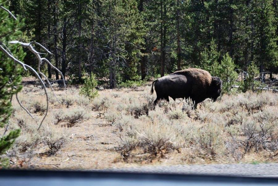 Bison seen in Yellowstone National Park