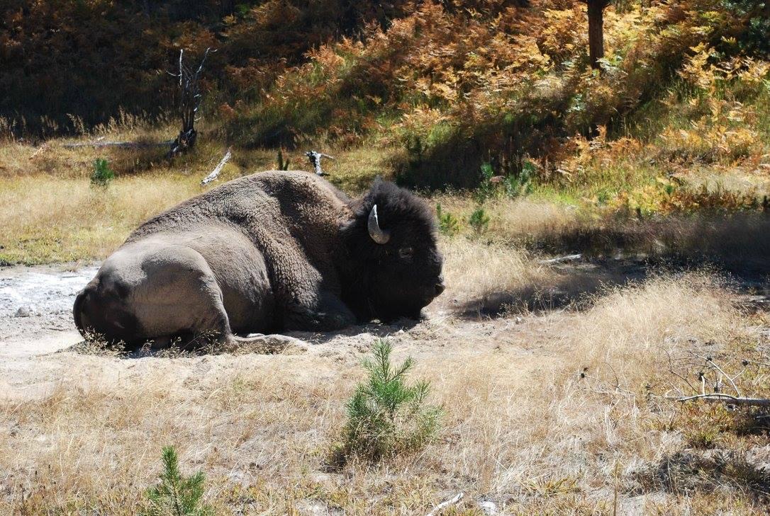 Yellowstone buffalo up close