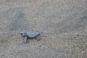 Baby turtle Sayulita